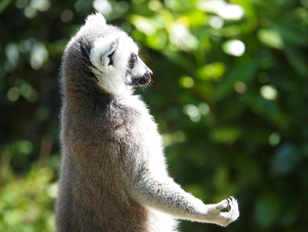Lemure meditando